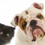 Filariosis, gusano del corazón en mascotas