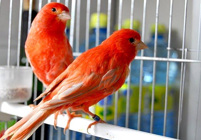 Canarios: Consejos y Cuidados