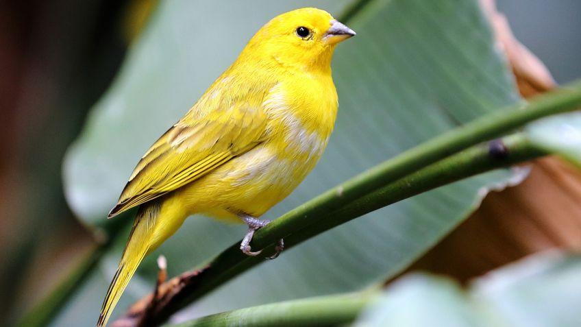 canario-aves