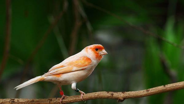 canario naranja